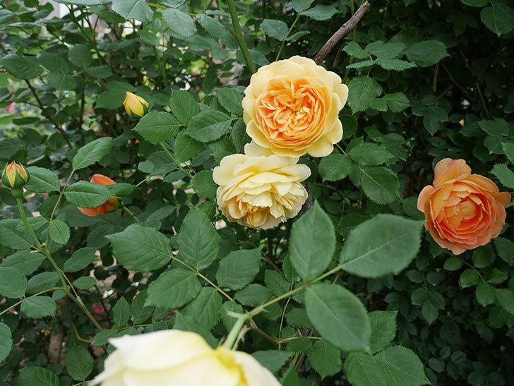 ゴールデン・セレブレーション(ツルバラ)の花がたくさん咲いた。2018年-16.jpg