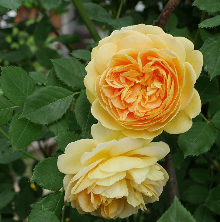 ゴールデン・セレブレーション(ツルバラ)の花がたくさん咲いた。2018年-17.jpg