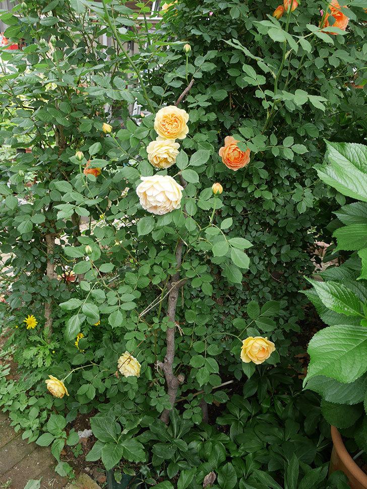 ゴールデン・セレブレーション(ツルバラ)の花がたくさん咲いた。2018年-18.jpg