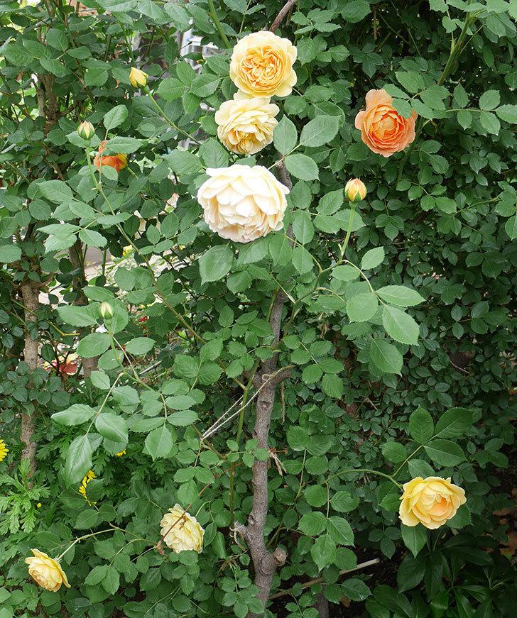 ゴールデン・セレブレーション(ツルバラ)の花がたくさん咲いた。2018年-19.jpg
