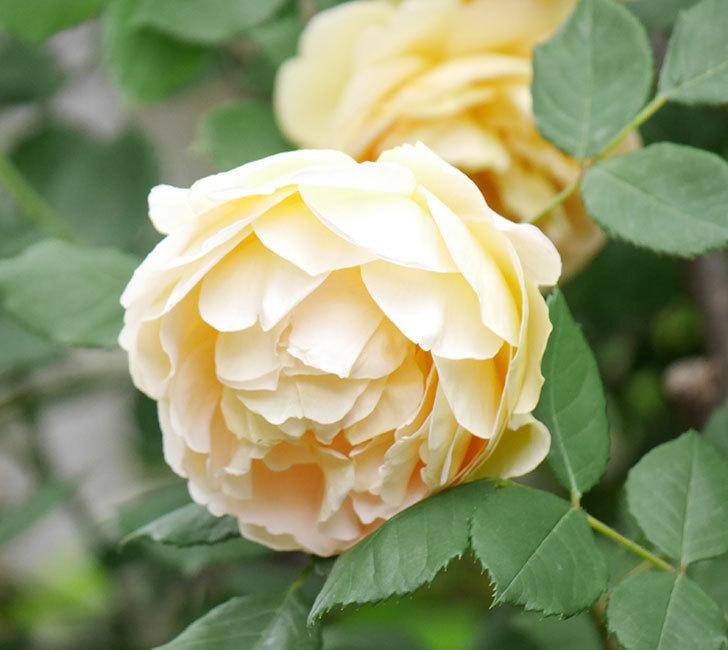 ゴールデン・セレブレーション(ツルバラ)の花がたくさん咲いた。2018年-2.jpg