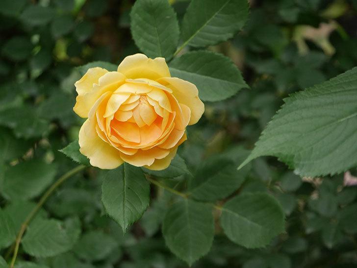 ゴールデン・セレブレーション(ツルバラ)の花がたくさん咲いた。2018年-3.jpg