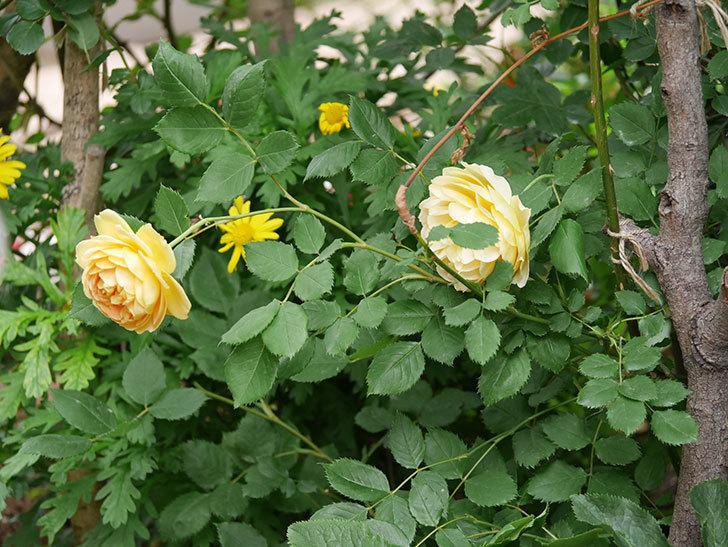 ゴールデン・セレブレーション(ツルバラ)の花がたくさん咲いた。2018年-6.jpg