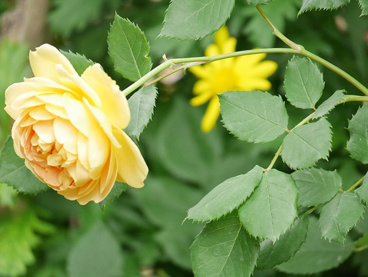 ゴールデン・セレブレーション(ツルバラ)の花がたくさん咲いた。2018年-7.jpg