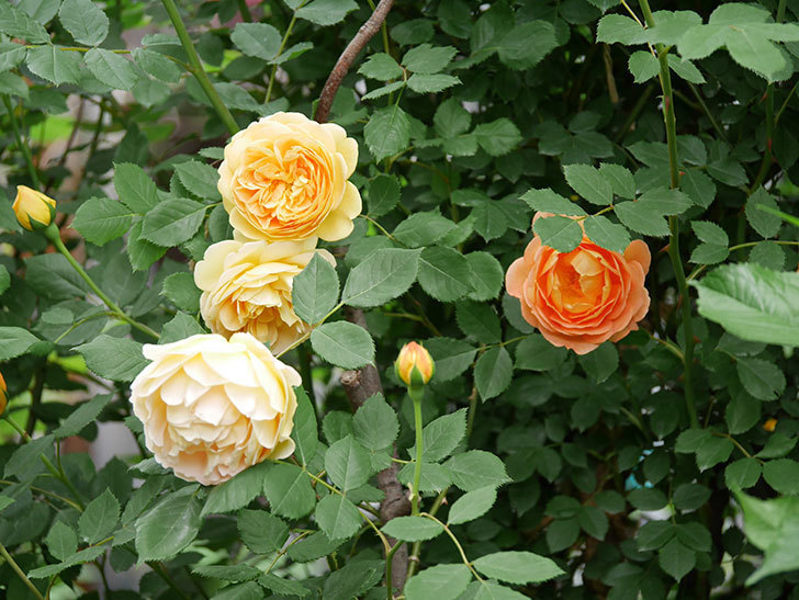 ゴールデン・セレブレーション(ツルバラ)の花がたくさん咲いた。2018年-8.jpg