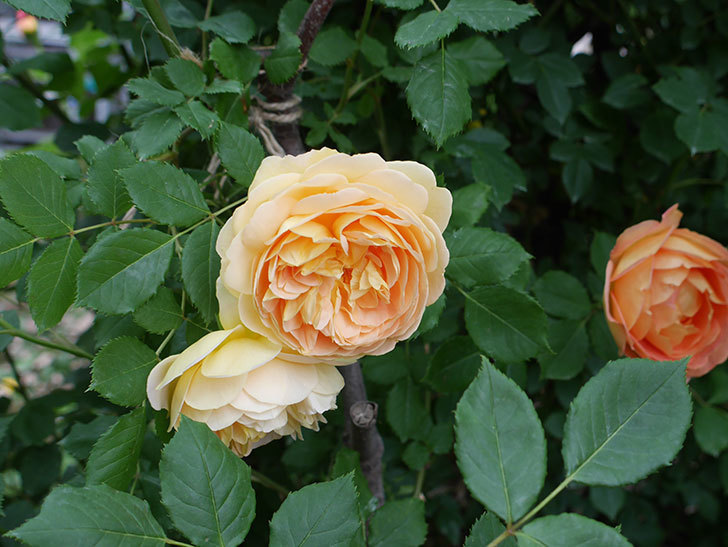 ゴールデン・セレブレーション(ツルバラ)の花がたくさん咲いた。2018年-9.jpg