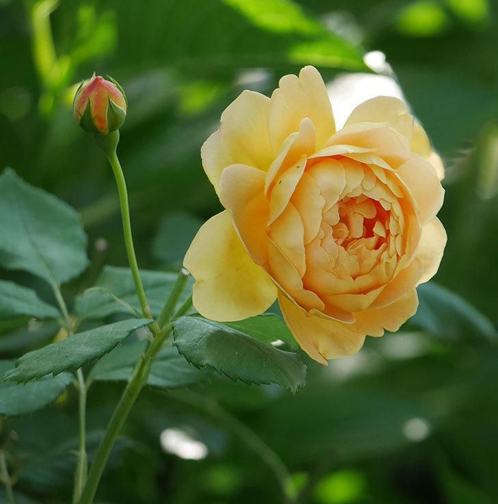 ゴールデン・セレブレーション(ツルバラ)の花がまた1個咲いた。2019年-1.jpg