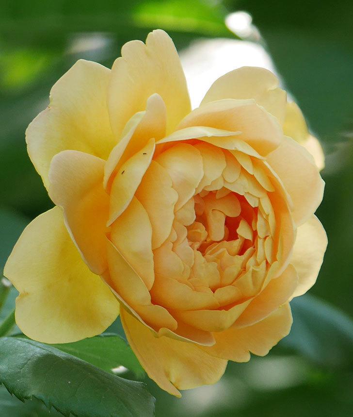 ゴールデン・セレブレーション(ツルバラ)の花がまた1個咲いた。2019年-3.jpg