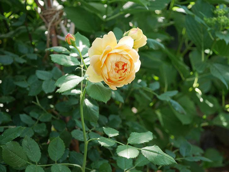 ゴールデン・セレブレーション(ツルバラ)の花がまた1個咲いた。2019年-4.jpg