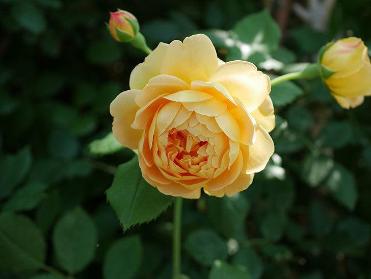 ゴールデン・セレブレーション(ツルバラ)の花がまた1個咲いた。2019年-5.jpg