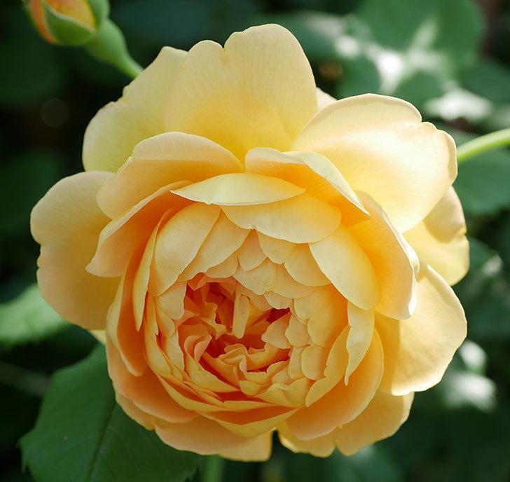 ゴールデン・セレブレーション(ツルバラ)の花がまた1個咲いた。2019年-6.jpg