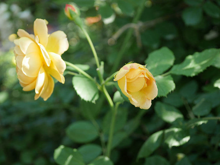 ゴールデン・セレブレーション(ツルバラ)の花がまた1個咲いた。2019年-7.jpg