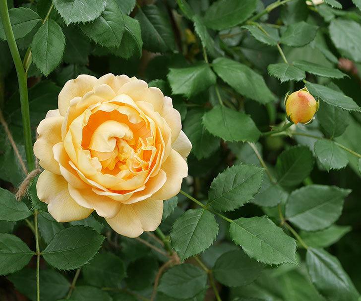 ゴールデン・セレブレーション(ツルバラ)の花がまた咲いた。2019年-1.jpg