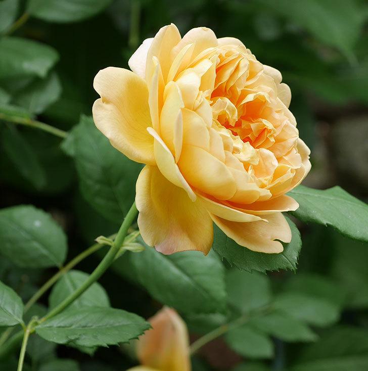 ゴールデン・セレブレーション(ツルバラ)の花がまた咲いた。2019年-2.jpg