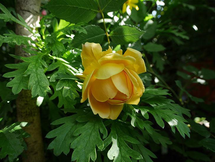 ゴールデン・セレブレーション(ツルバラ)の花が咲いた。2018年-2.jpg