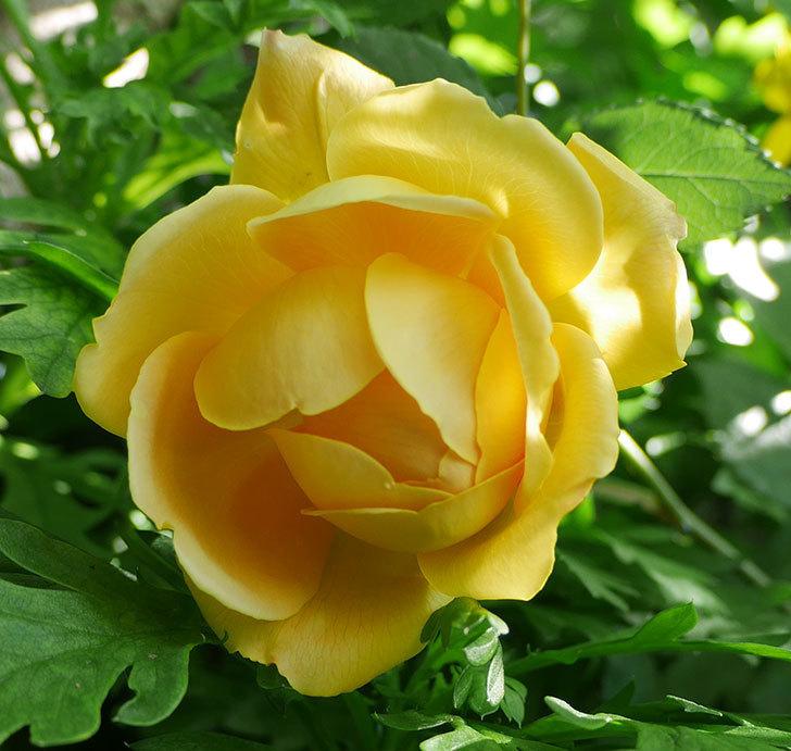 ゴールデン・セレブレーション(ツルバラ)の花が咲いた。2018年-4.jpg