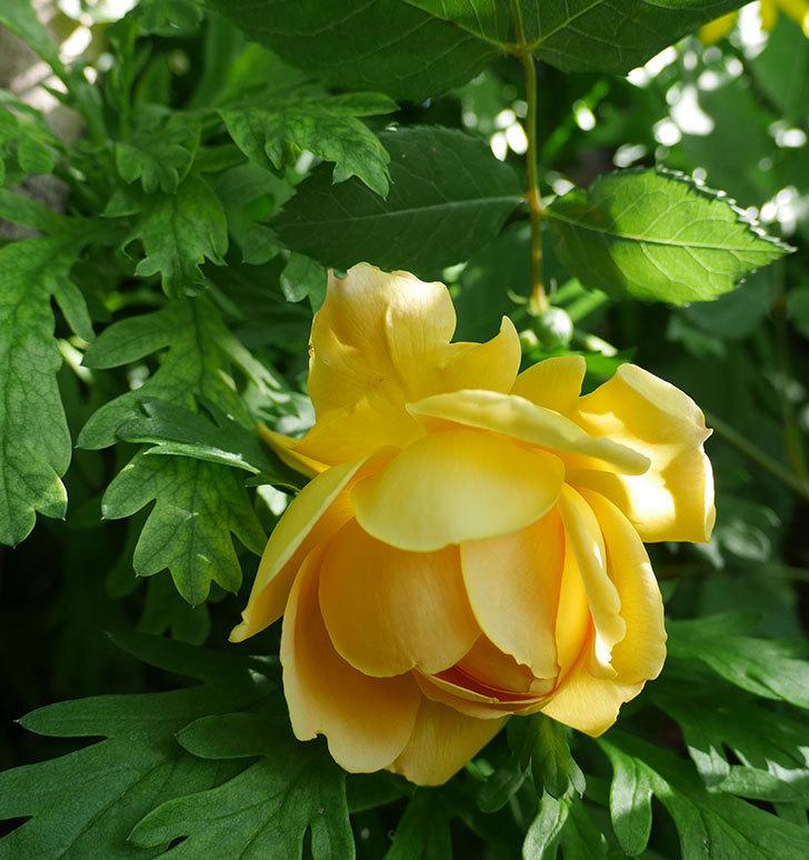 ゴールデン・セレブレーション(ツルバラ)の花が咲いた。2018年-5.jpg