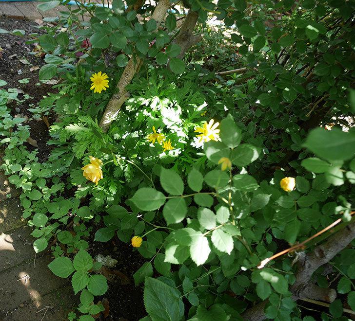 ゴールデン・セレブレーション(ツルバラ)の花が咲いた。2018年-9.jpg