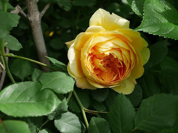 ゴールデン・セレブレーション(ツルバラ)の花が咲いた。2019年-1.jpg
