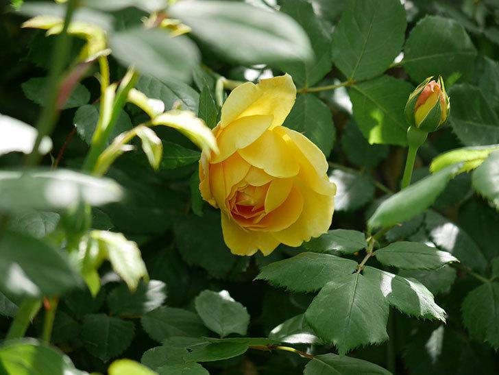 ゴールデン・セレブレーション(ツルバラ)の花が咲いた。2019年-11.jpg
