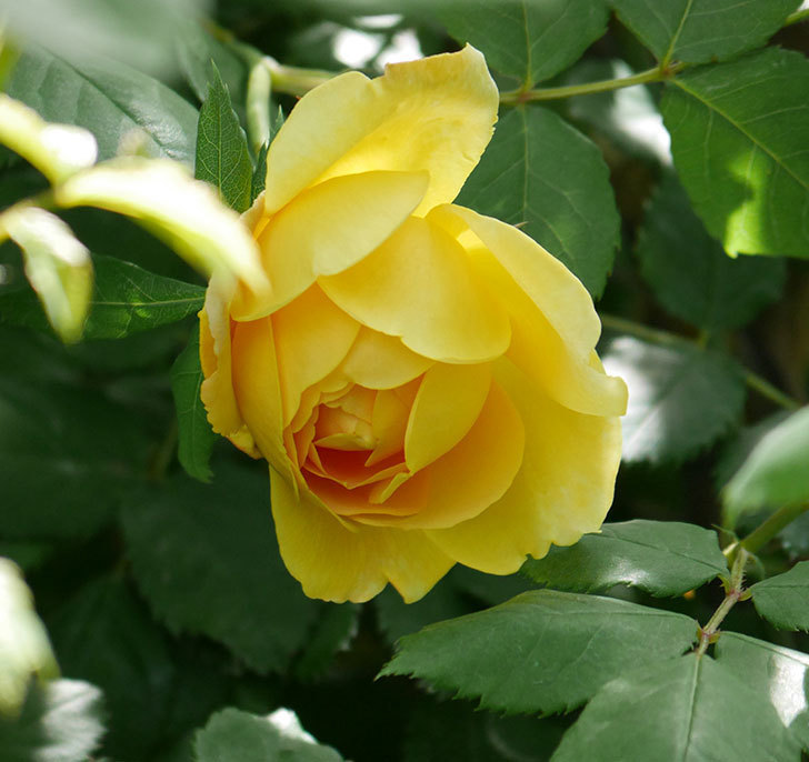 ゴールデン・セレブレーション(ツルバラ)の花が咲いた。2019年-12.jpg