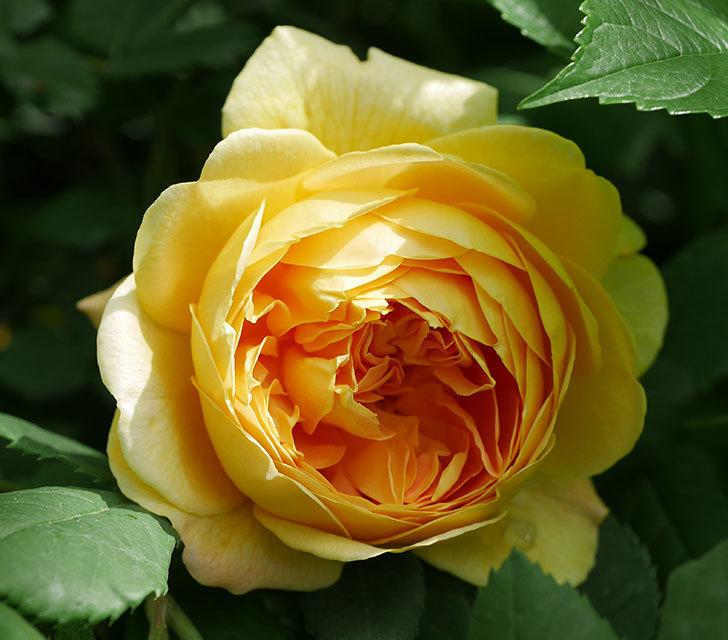 ゴールデン・セレブレーション(ツルバラ)の花が咲いた。2019年-2.jpg