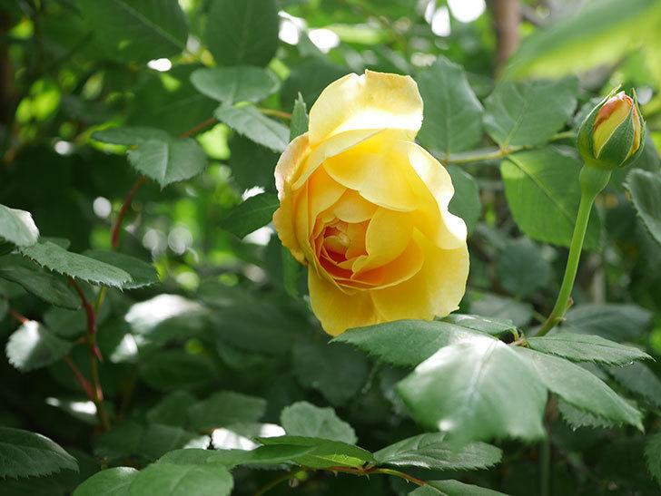ゴールデン・セレブレーション(ツルバラ)の花が咲いた。2019年-4.jpg