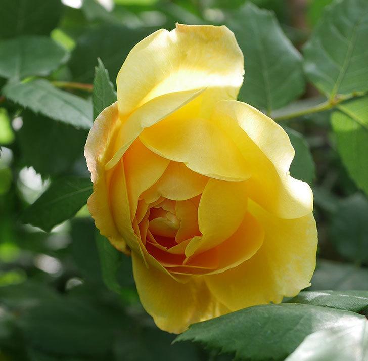 ゴールデン・セレブレーション(ツルバラ)の花が咲いた。2019年-5.jpg
