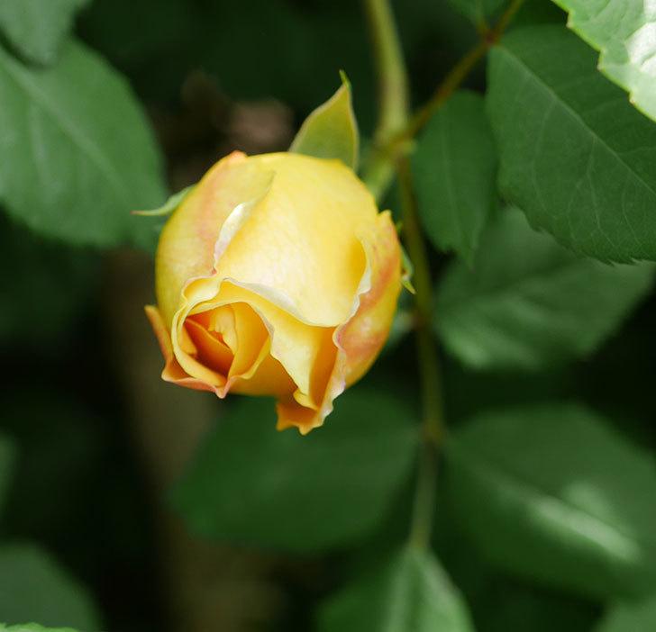 ゴールデン・セレブレーション(ツルバラ)の花が咲いた。2019年-6.jpg