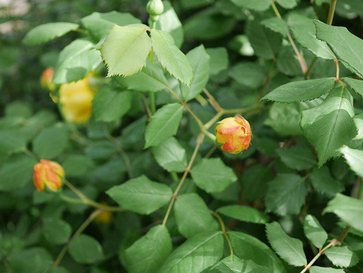 ゴールデン・セレブレーション(ツルバラ)の花が咲いた。2019年-7.jpg