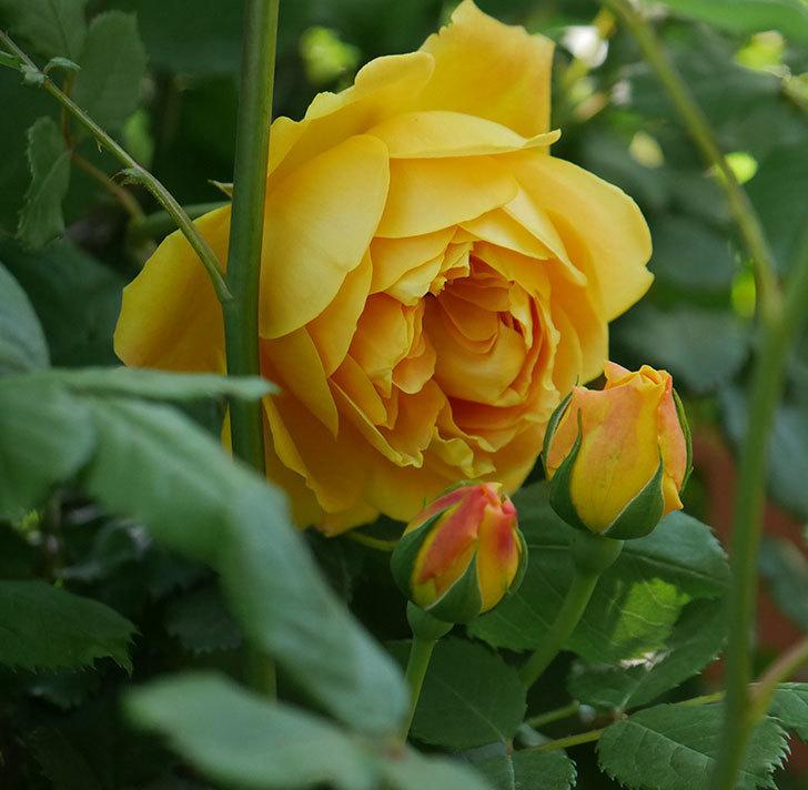 ゴールデン・セレブレーション(ツルバラ)の花が咲いた。2020年-1.jpg