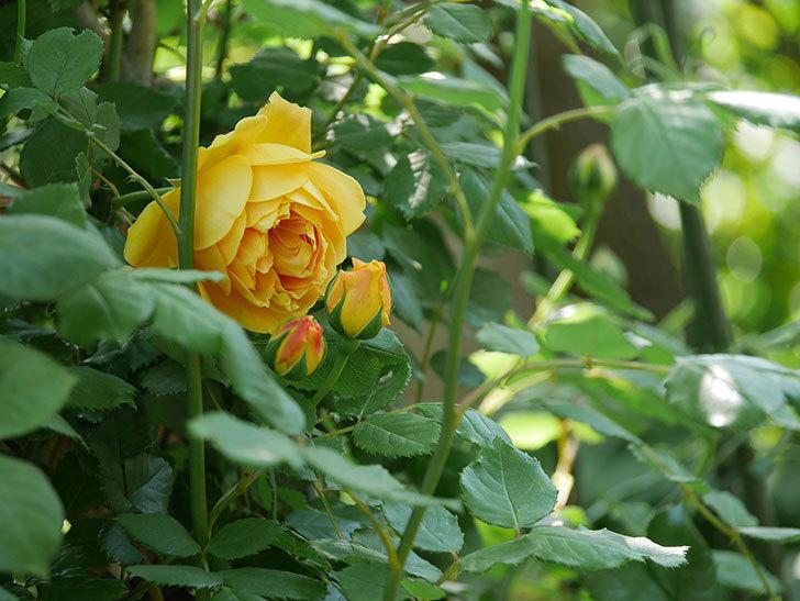 ゴールデン・セレブレーション(ツルバラ)の花が咲いた。2020年-2.jpg