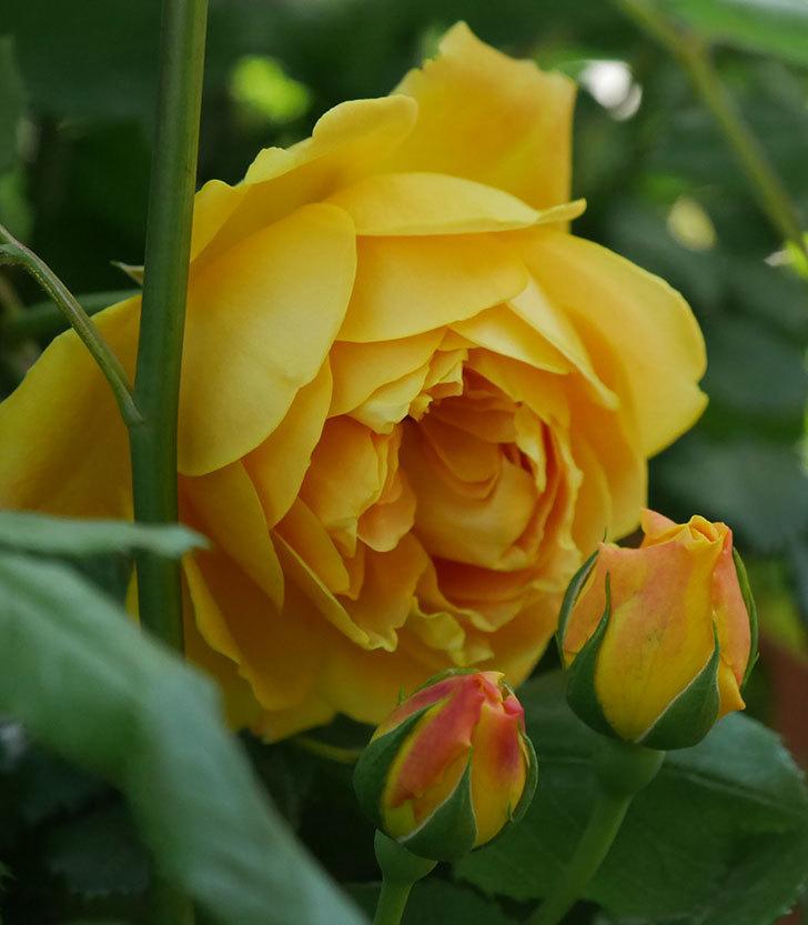 ゴールデン・セレブレーション(ツルバラ)の花が咲いた。2020年-3.jpg