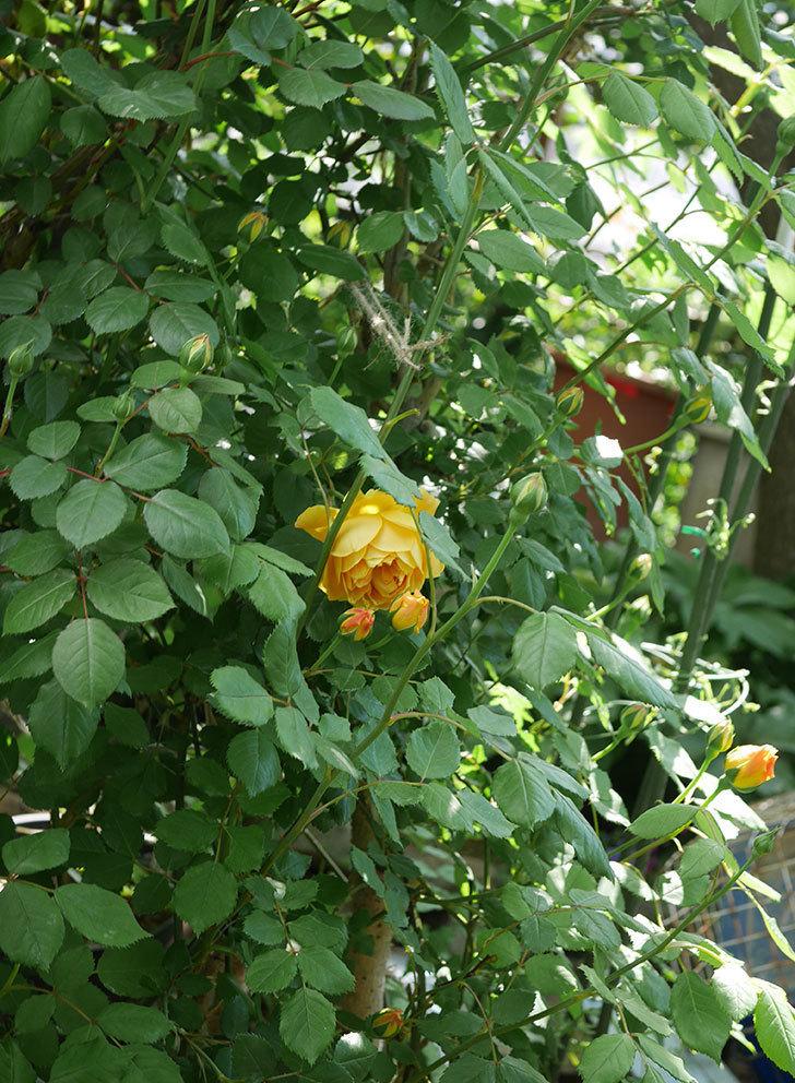 ゴールデン・セレブレーション(ツルバラ)の花が咲いた。2020年-5.jpg