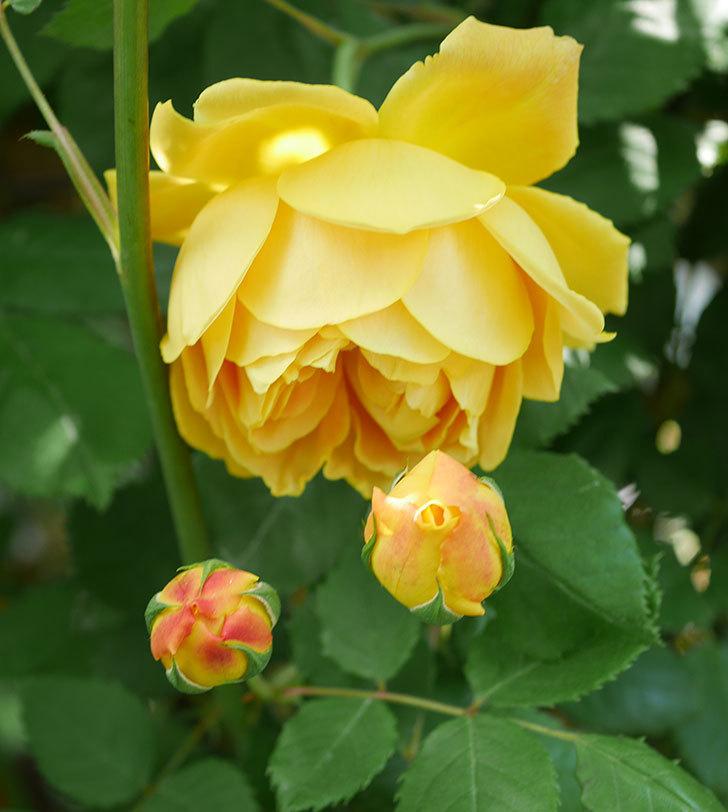 ゴールデン・セレブレーション(ツルバラ)の花が咲いた。2020年-6.jpg