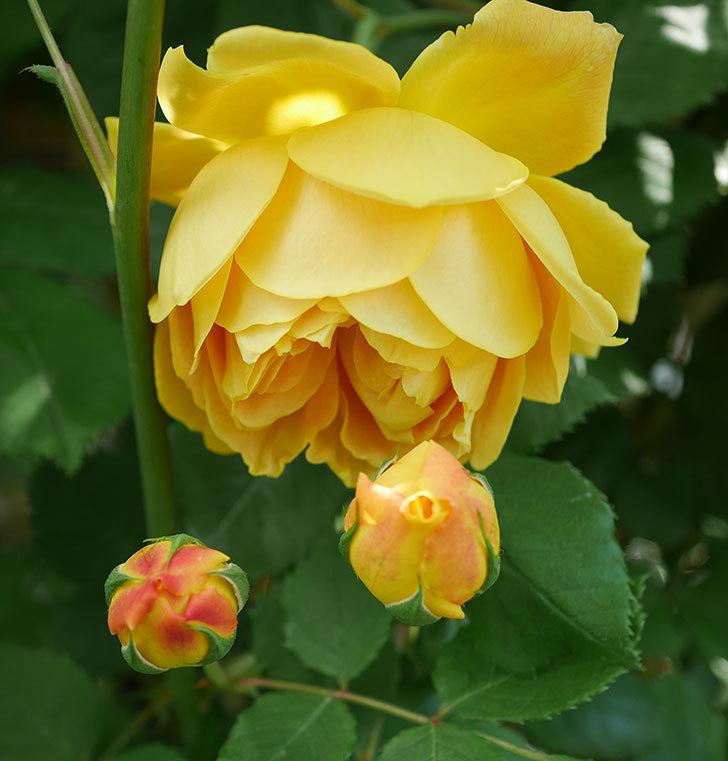 ゴールデン・セレブレーション(ツルバラ)の花が咲いた。2020年-7.jpg