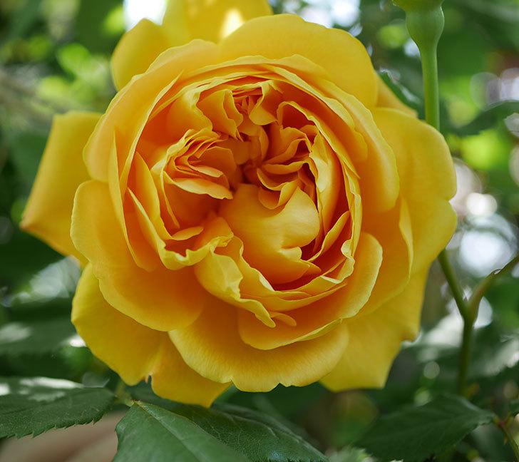 ゴールデン・セレブレーション(ツルバラ)の花が咲いた。2020年-8.jpg