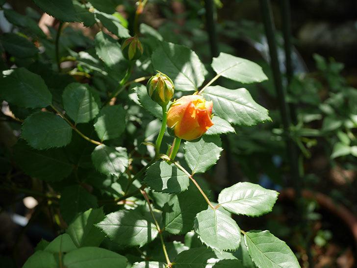 ゴールデン・セレブレーション(ツルバラ)の花が咲いた。2020年-9.jpg