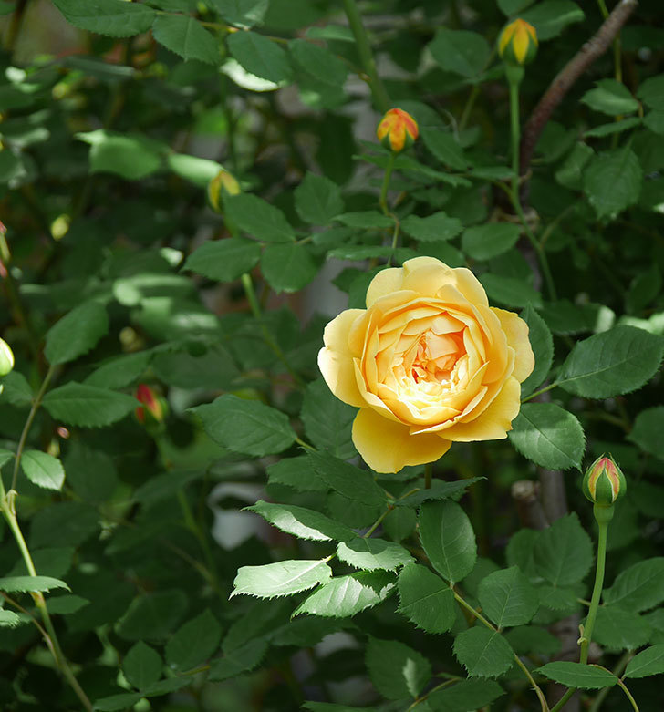 ゴールデン・セレブレーション(ツルバラ)の花が増えて来た。2018年-10.jpg