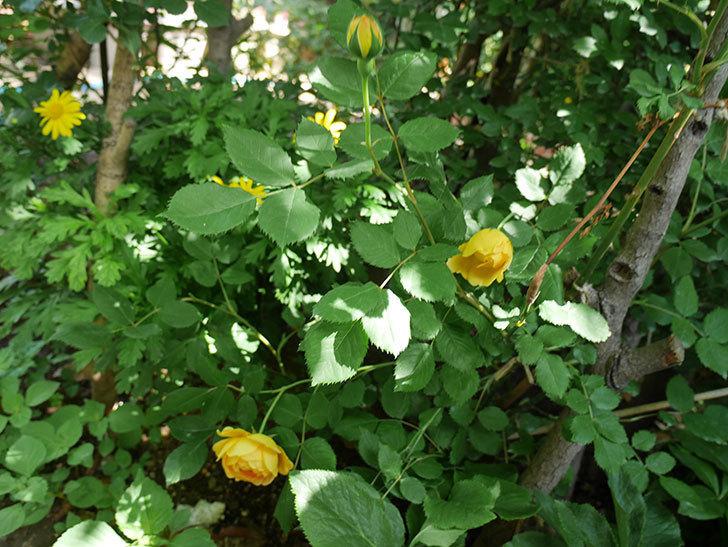 ゴールデン・セレブレーション(ツルバラ)の花が増えて来た。2018年-14.jpg