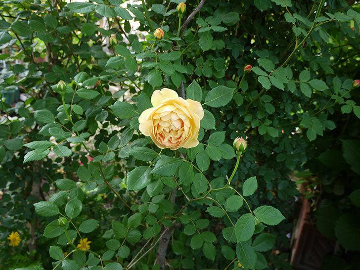ゴールデン・セレブレーション(ツルバラ)の花が増えて来た。2018年-2.jpg