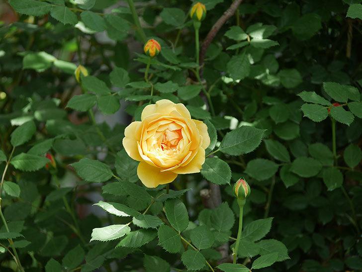 ゴールデン・セレブレーション(ツルバラ)の花が増えて来た。2018年-5.jpg