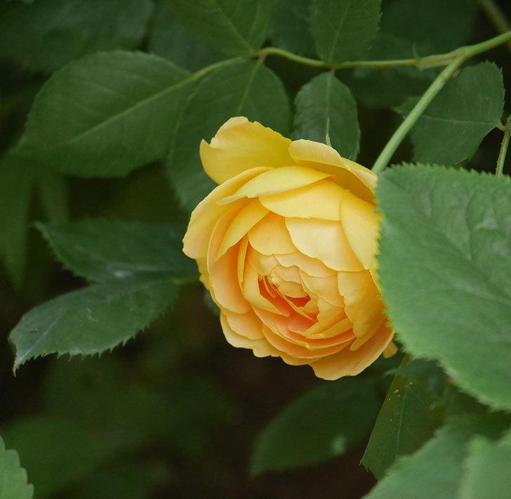 ゴールデン・セレブレーション(ツルバラ)の花が増えて来た。2018年-6.jpg