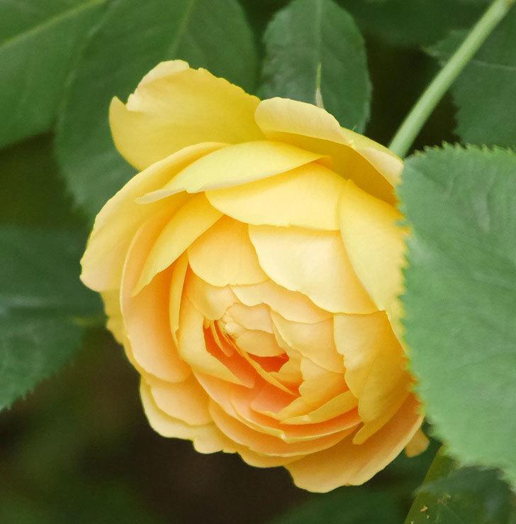 ゴールデン・セレブレーション(ツルバラ)の花が増えて来た。2018年-7.jpg
