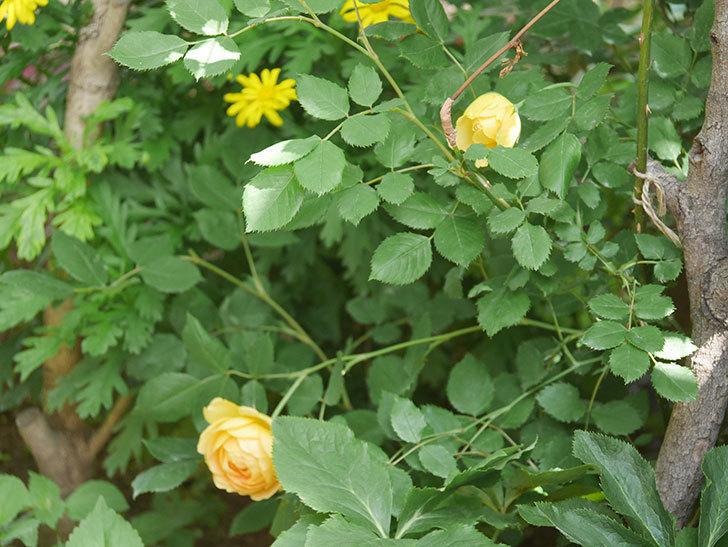 ゴールデン・セレブレーション(ツルバラ)の花が増えて来た。2018年-9.jpg