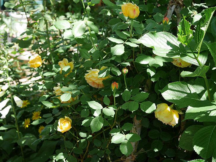 ゴールデン・セレブレーション(ツルバラ)の花が増えて来た。2019年-1.jpg