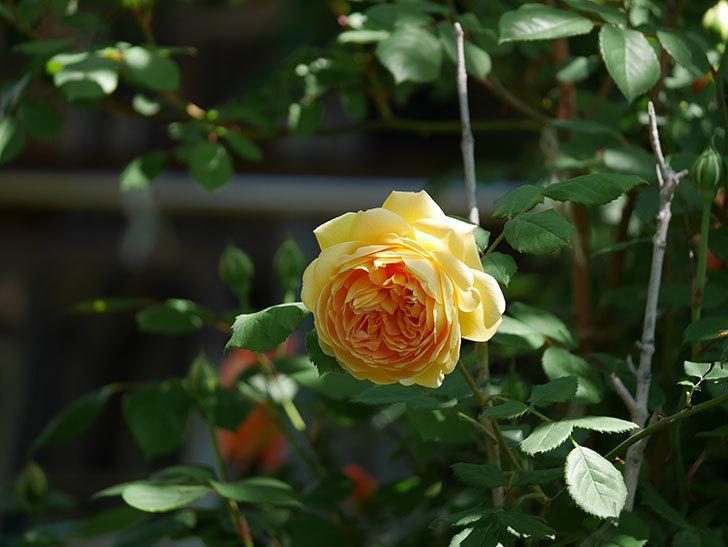 ゴールデン・セレブレーション(ツルバラ)の花が増えて来た。2019年-10.jpg