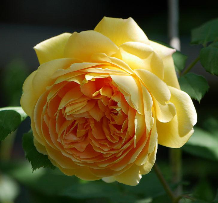 ゴールデン・セレブレーション(ツルバラ)の花が増えて来た。2019年-11.jpg