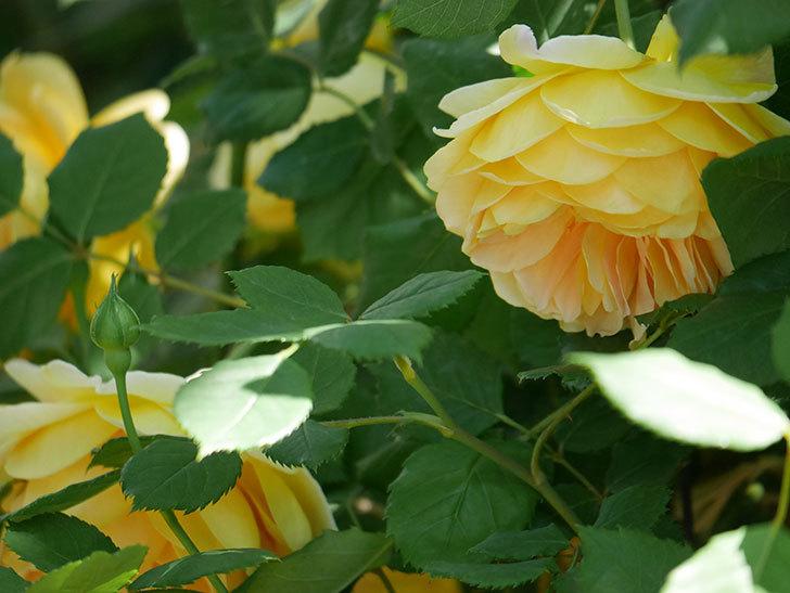 ゴールデン・セレブレーション(ツルバラ)の花が増えて来た。2019年-13.jpg