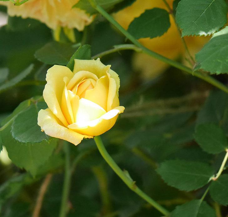 ゴールデン・セレブレーション(ツルバラ)の花が増えて来た。2019年-14.jpg